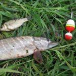 Щука на живца как ловить на поплавочную удочку