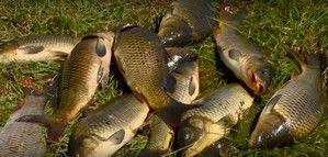Отличный улов осенью с берега карпа и сазана на донки