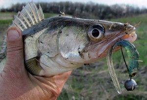 Ловля судака осенью где и как рыбачить